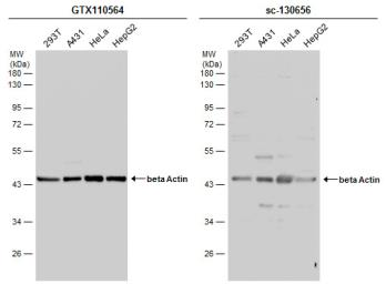 Anti-beta Actin antibody used in Western Blot (WB). GTX110564