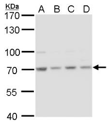 Anti-HSC70 antibody [N2C1], Internal used in Western Blot (WB). GTX111069