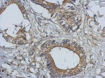Anti-BCL10 antibody used in IHC (Paraffin sections) (IHC-P). GTX112744