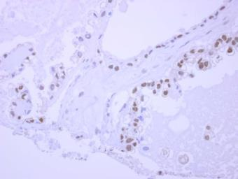 Anti-NPEPL1 antibody [N2C1], Internal used in IHC (Paraffin sections) (IHC-P). GTX119217