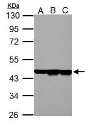 Anti-beta Actin antibody used in Western Blot (WB). GTX124213