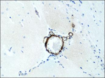 Anti-ASAP1 antibody used in IHC (Paraffin sections) (IHC-P). GTX12424