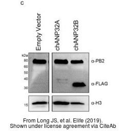 Anti-Influenza A virus PB2 protein antibody used in Western Blot (WB). GTX125926