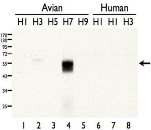 Anti-Influenza A virus H7N7 HA (Hemagglutinin) antibody used in Western Blot (WB). GTX127303