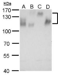 Anti-Integrin beta 1 / CD29 antibody used in Western Blot (WB). GTX128839