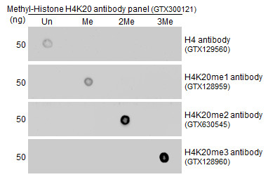 Anti-Histone H4K20me1 (monomethyl Lys20) antibody used in Dot blot (Dot). GTX128959