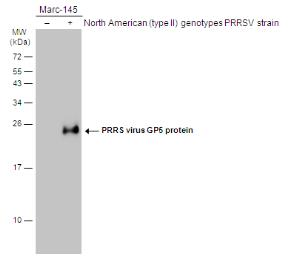 Anti-PRRS virus GP5 protein antibody used in Western Blot (WB). GTX129062