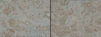 Anti-TNIK antibody used in IHC (Paraffin sections) (IHC-P). GTX13141