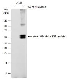 Anti-West Nile virus NS1 protein antibody used in Western Blot (WB). GTX132053