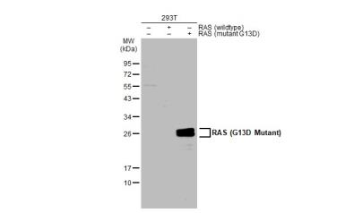 Anti-RAS (G13D Mutant) antibody used in Western Blot (WB). GTX132410