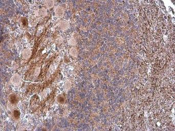 Anti-CASPR antibody used in IHC (Paraffin sections) (IHC-P). GTX133272