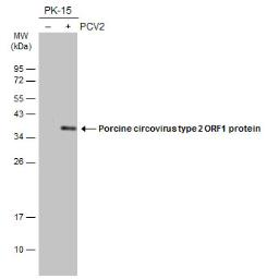 Anti-Porcine circovirus type 2 / PCV2 replicase antibody used in Western Blot (WB). GTX133638
