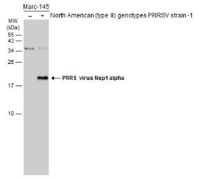 Anti-PRRS virus Nsp1 alpha antibody used in Western Blot (WB). GTX133695