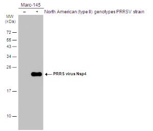 Anti-PRRS virus Nsp4 protein antibody used in Western Blot (WB). GTX133700