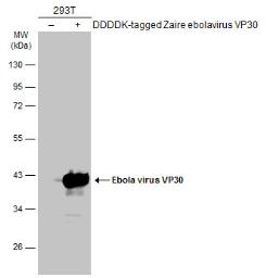 Anti-Ebola virus VP30 antibody used in Western Blot (WB). GTX134035