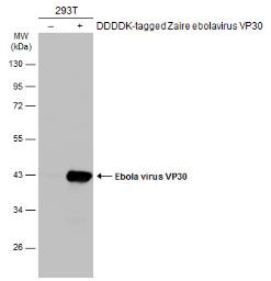 Anti-Ebola virus VP30 antibody used in Western Blot (WB). GTX134036
