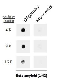 Anti-beta Amyloid (1-42) antibody – Conformation Specific used in Dot blot (Dot). GTX134510