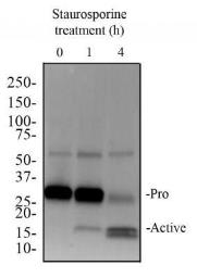 Anti-Caspase 3 antibody [31A1067] used in Western Blot (WB). GTX13585