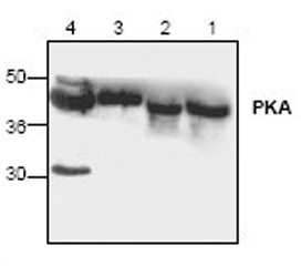 Anti-PKA C alpha antibody used in Western Blot (WB). GTX19242