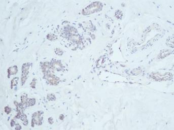 Anti-Neuregulin-1 antibody used in IHC (Paraffin sections) (IHC-P). GTX31173