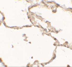 Anti-DOPA Decarboxylase antibody used in IHC (Paraffin sections) (IHC-P). GTX31550