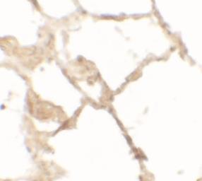 Anti-TFEB antibody used in IHC (Paraffin sections) (IHC-P). GTX31850