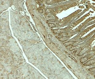 Anti-SLC29A3 antibody used in IHC (Paraffin sections) (IHC-P). GTX32151