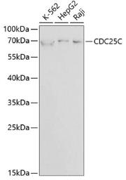 Anti-CDC25C antibody used in Western Blot (WB). GTX32511
