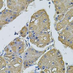 Anti-EIF1AY antibody used in IHC (Paraffin sections) (IHC-P). GTX32576