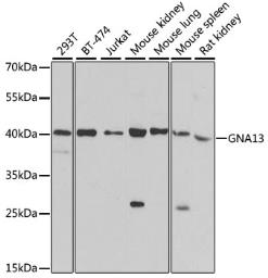 Anti-G protein alpha 13 antibody used in Western Blot (WB). GTX32613
