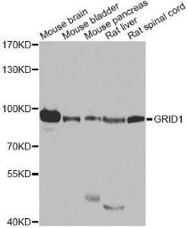 Anti-GRID1 antibody used in Western Blot (WB). GTX32633