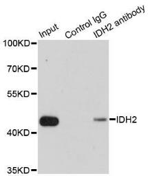 Anti-IDH2 antibody used in Immunoprecipitation (IP). GTX32666