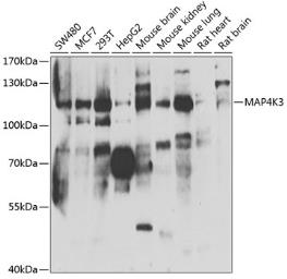 Anti-MAP4K3 antibody used in Western Blot (WB). GTX32713