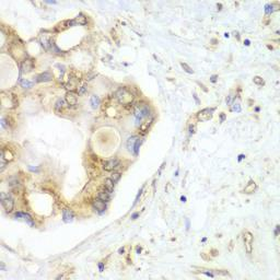 Anti-VTI1B antibody used in IHC (Paraffin sections) (IHC-P). GTX32969