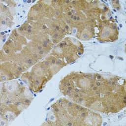 Anti-FLT3 antibody used in IHC (Paraffin sections) (IHC-P). GTX33202
