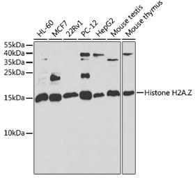 Anti-Histone H2A.Z antibody used in Western Blot (WB). GTX33241