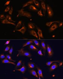 Anti-Melanophilin antibody used in Immunocytochemistry/ Immunofluorescence (ICC/IF). GTX33313