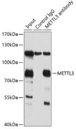 Anti-METTL3 antibody used in Immunoprecipitation (IP). GTX33315