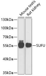 Anti-Suppressor of Fused antibody used in Western Blot (WB). GTX33530