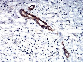 Anti-TSH beta antibody [1D12G1] used in IHC (Paraffin sections) (IHC-P). GTX33948