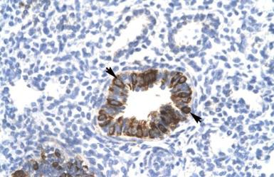 Anti-Mxi1 antibody used in IHC (Paraffin sections) (IHC-P). GTX33961