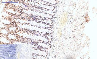 Anti-Caspase 8 antibody [2G12] used in IHC (Paraffin sections) (IHC-P). GTX34167