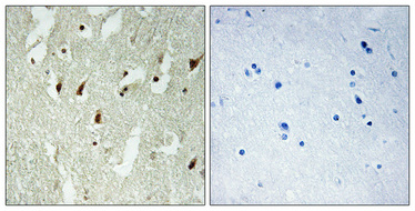 Anti-RPL26L1 antibody used in IHC (Paraffin sections) (IHC-P). GTX34173