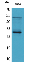 Anti-FGF23 antibody used in Western Blot (WB). GTX34377