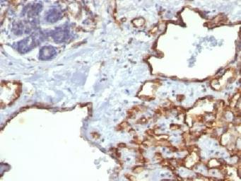 Anti-CD31 antibody [SPM122] used in IHC (Paraffin sections) (IHC-P). GTX34492