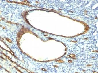 Anti-CD34 antibody [HPCA1/763] used in IHC (Paraffin sections) (IHC-P). GTX34499
