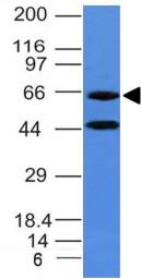Anti-Chromogranin A antibody [CHGA/777] used in Western Blot (WB). GTX34598