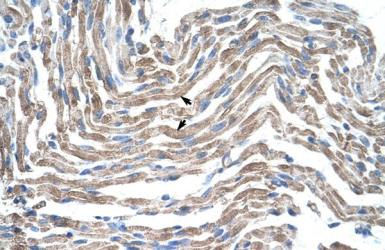 Anti-Claudin 11 antibody, C-term used in IHC (Paraffin sections) (IHC-P). GTX47763