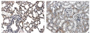 Anti-Pan-Endothelial Cell Marker antibody [4J13] used in IHC (Paraffin sections) (IHC-P). GTX53150