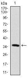 Anti-MAP2 antibody [5B7] used in Western Blot (WB). GTX60608
